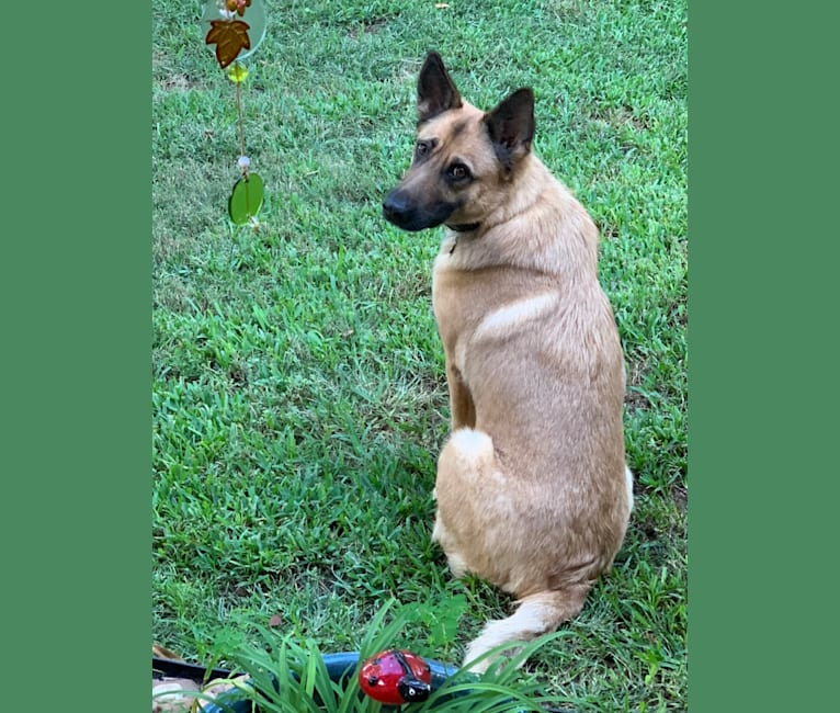 Photo of Sophie, a German Shepherd Dog, Labrador Retriever, and Chow Chow mix in Cypress, Texas, USA