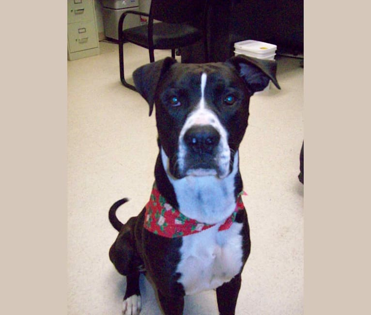 Photo of Odin, a Boxer, American Pit Bull Terrier, and American Staffordshire Terrier mix in Albuquerque, NM, USA