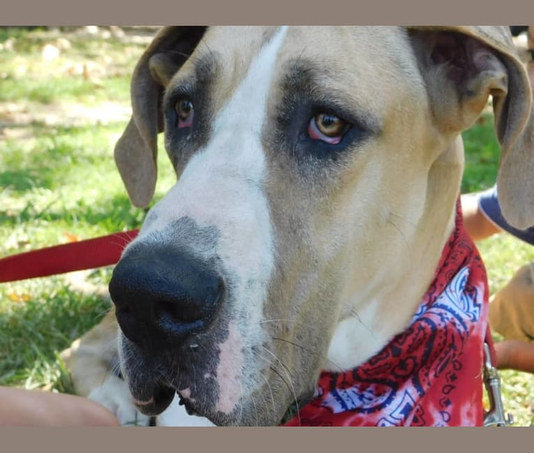 Photo of RGD's Roman Royal, a Great Dane  in Compton, California, USA