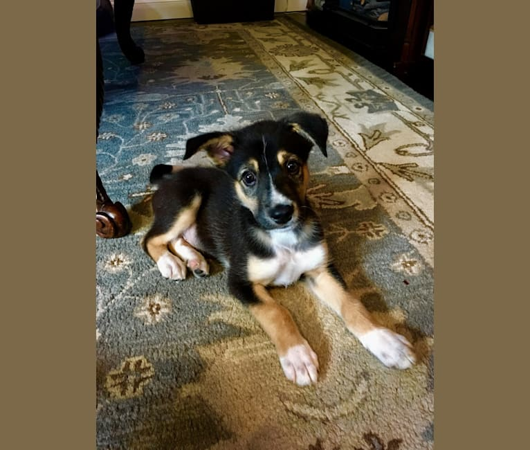 Photo of Sam, a Siberian Husky, Chow Chow, Mountain Cur, and Mixed mix in Ashton, West Virginia, USA