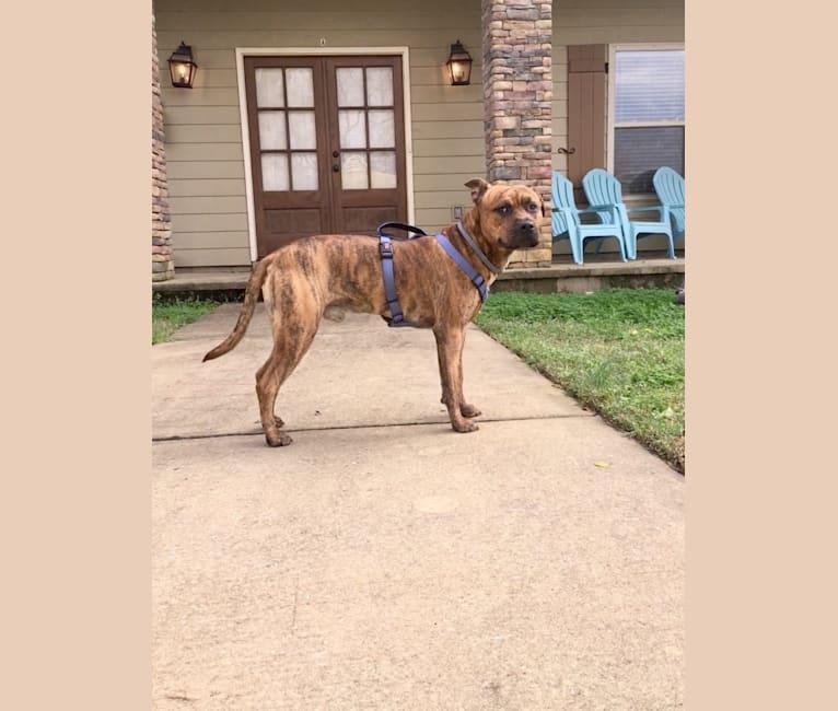 Photo of Kodak, an American Pit Bull Terrier