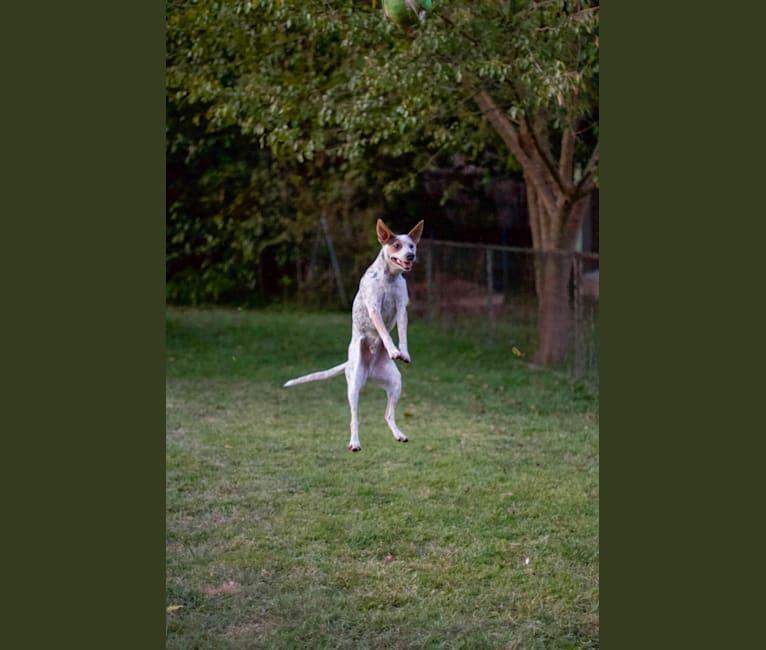 Photo of Zero, an Australian Cattle Dog and Mixed mix