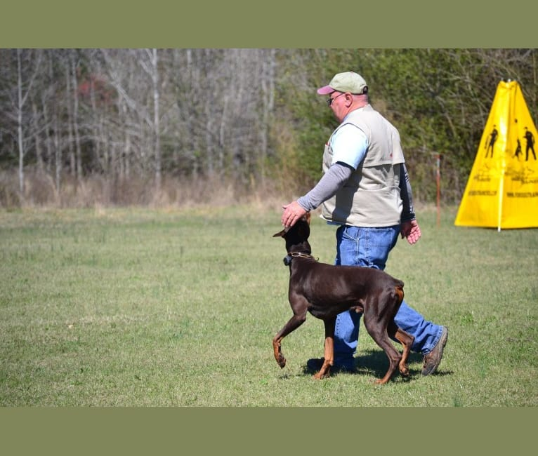 Photo of Enzo, a Doberman Pinscher  in Jacksonville, AR, USA