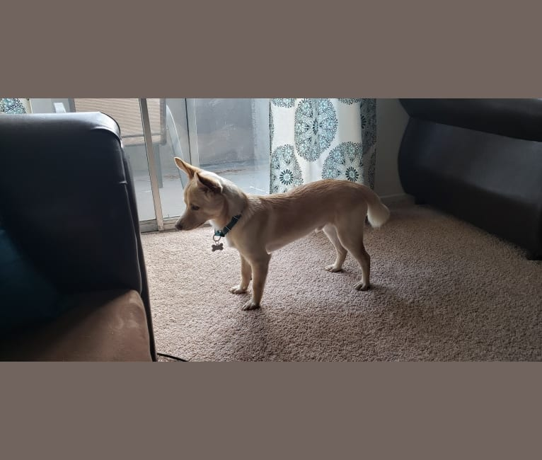 Photo of Xero, a Siberian Husky, Chow Chow, Shih Tzu, Chihuahua, and Mixed mix in Los Angeles, California, USA