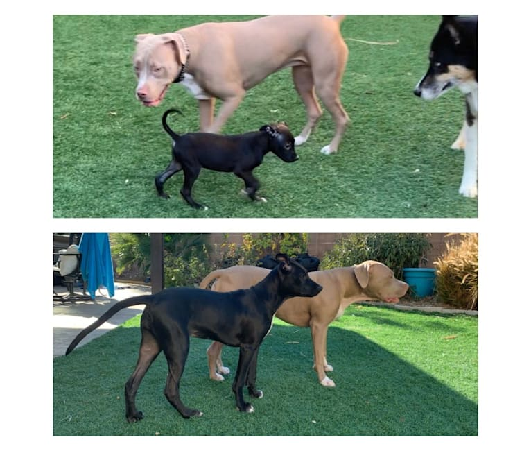 Photo of Lenox, an American Pit Bull Terrier, Chow Chow, and Mixed mix in Las Vegas, Nevada, USA