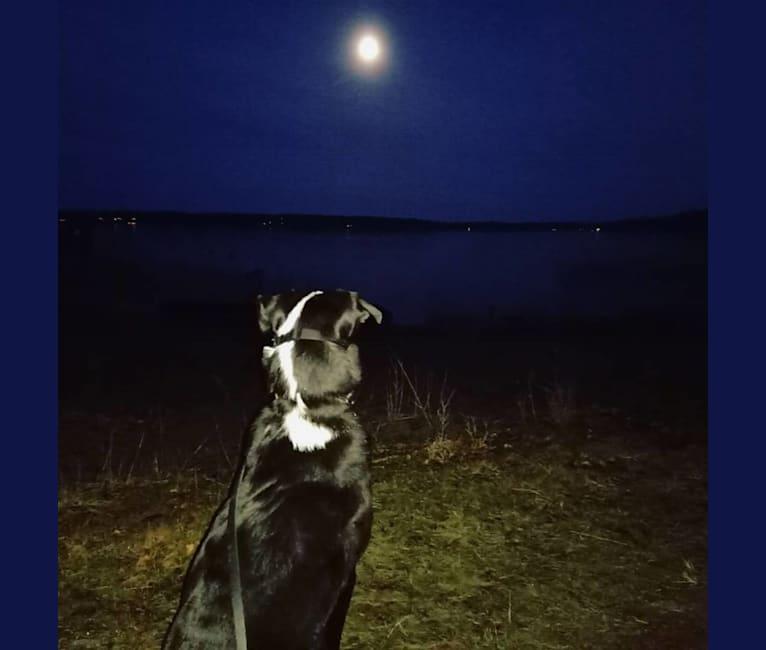 Photo of Whisky, an Australian Shepherd, Dalmatian, Alaskan Malamute, and Bernese Mountain Dog mix in Finland