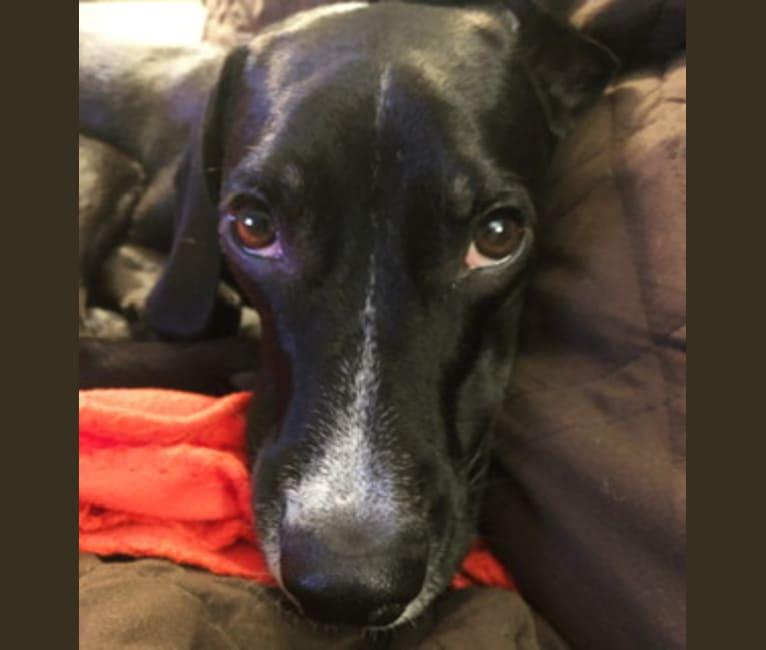"Photo of Barry ""Bubba"", a Beagle, American Pit Bull Terrier, and Labrador Retriever mix in Kentucky, USA"