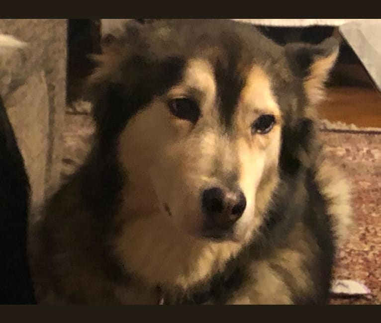 Photo of Hug, an Alaskan Malamute, Siberian Husky, American Pit Bull Terrier, German Shepherd Dog, and Mixed mix in Zagreb, Hrvatska