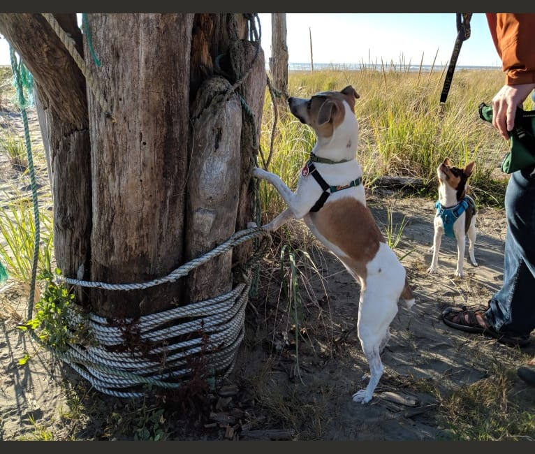 Photo of Katie, a Rat Terrier  in Clearbrook Kennels, Clearbrook Road, Sumas, WA, USA