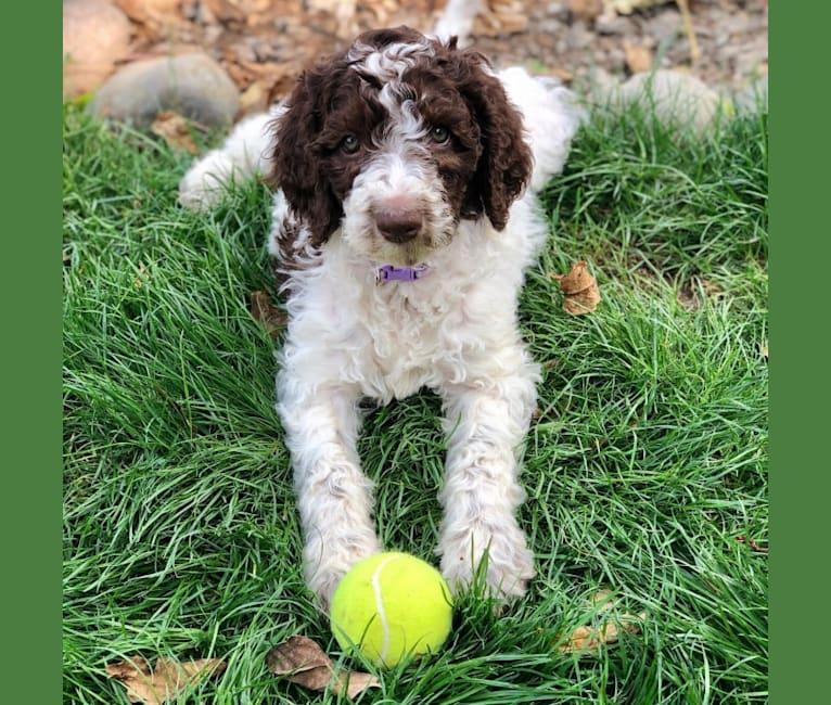 Photo of Zoe, a Poodle (Standard) and Labrador Retriever mix in Gresham, OR, USA