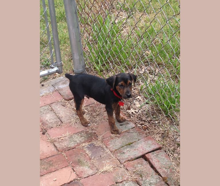 Photo of Hank, a Mountain Cur  in St. Louis, Missouri, USA