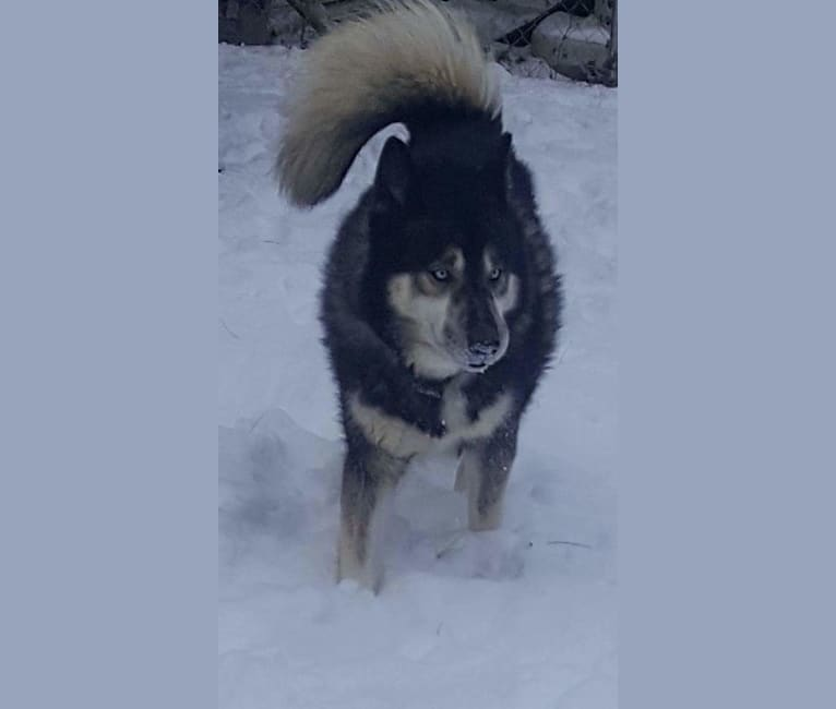 Photo of Eeko, a Siberian Husky  in Felton, Delaware, USA