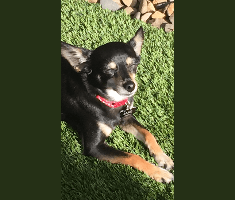 Photo of Jake, a Chihuahua, Dachshund, Poodle (Small), Shih Tzu, and Mixed mix in Utah, USA
