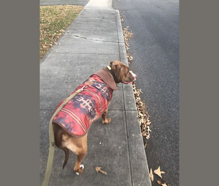 Photo of Cherokee, an American Pit Bull Terrier  in Salisbury, Maryland, USA