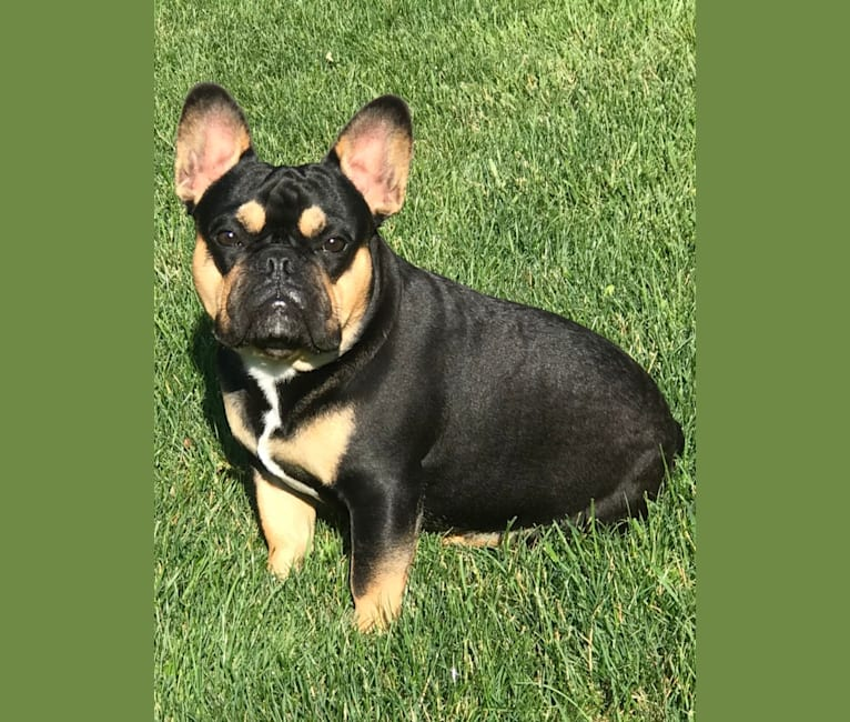 Photo of Maximus Von Williams, a French Bulldog (10.2% unresolved) in Indiana, USA