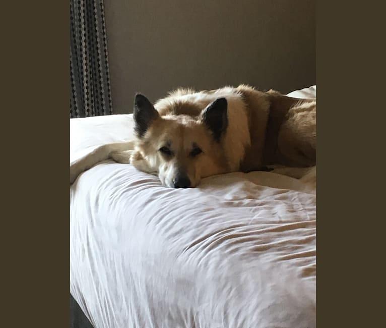 Photo of Kiva, a Canaan Dog  in Israel