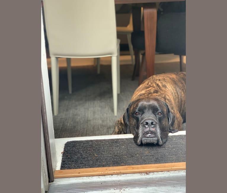 Photo of Tallulah, a Mastiff  in New York, New York, USA