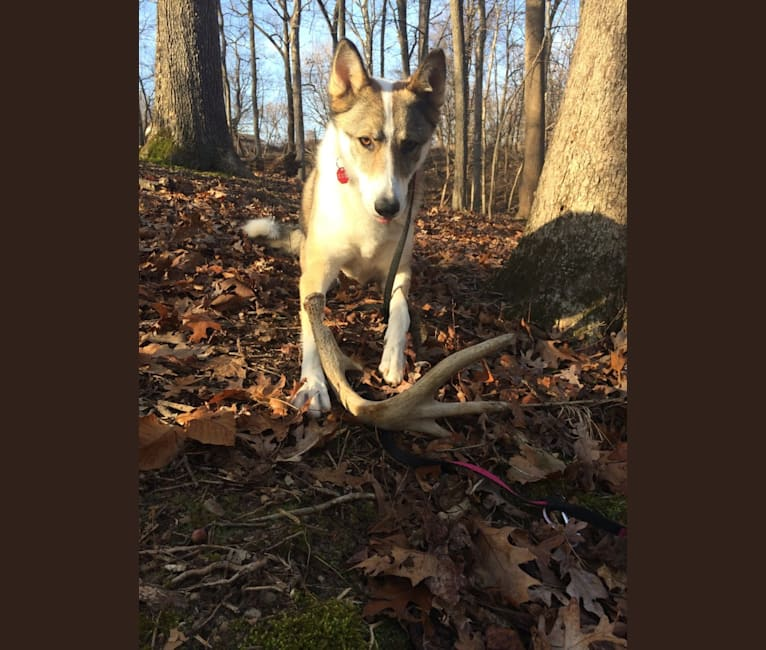 Photo of Meissa, a West Siberian Laika  in Maryland, USA