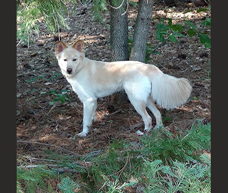 Photo of Roxy, a Siberian Husky, Labrador Retriever, and German Shepherd Dog mix in Portal, Georgia, USA