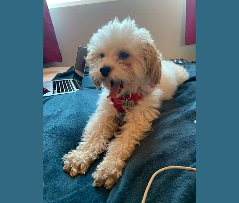 Photo of Mitai, a Poodle (Small) and Mixed mix in Los Angeles, California, USA