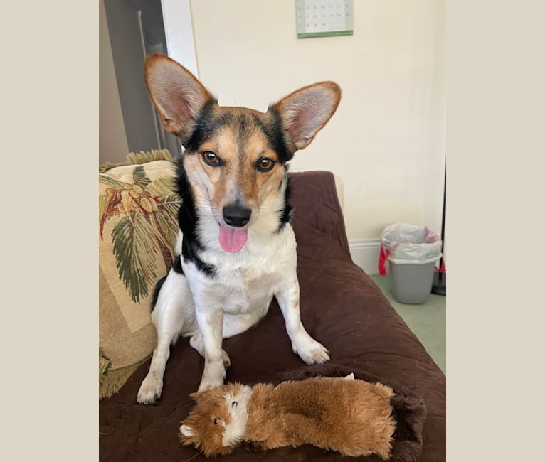Photo of Willow, a Chihuahua, Australian Cattle Dog, American Pit Bull Terrier, and Mixed mix in SF, California, USA