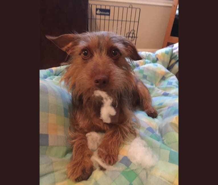 Photo of Jack, a Dachshund, Yorkshire Terrier, Biewer Terrier, and Chihuahua mix in Austin, Texas, USA