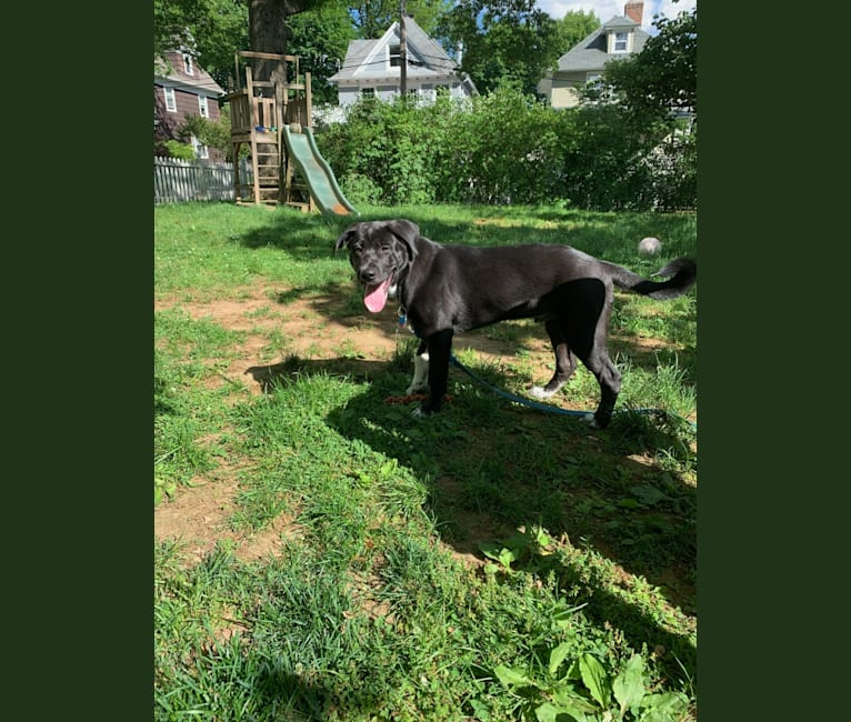 Photo of Bailey, an American Pit Bull Terrier, Chow Chow, Labrador Retriever, Siberian Husky, and Mixed mix in West Caldwell, New Jersey, USA