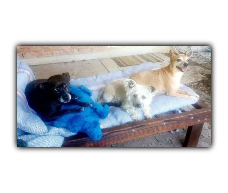 Photo of Dinks, a Boston Terrier, Poodle (Small), and Chihuahua mix