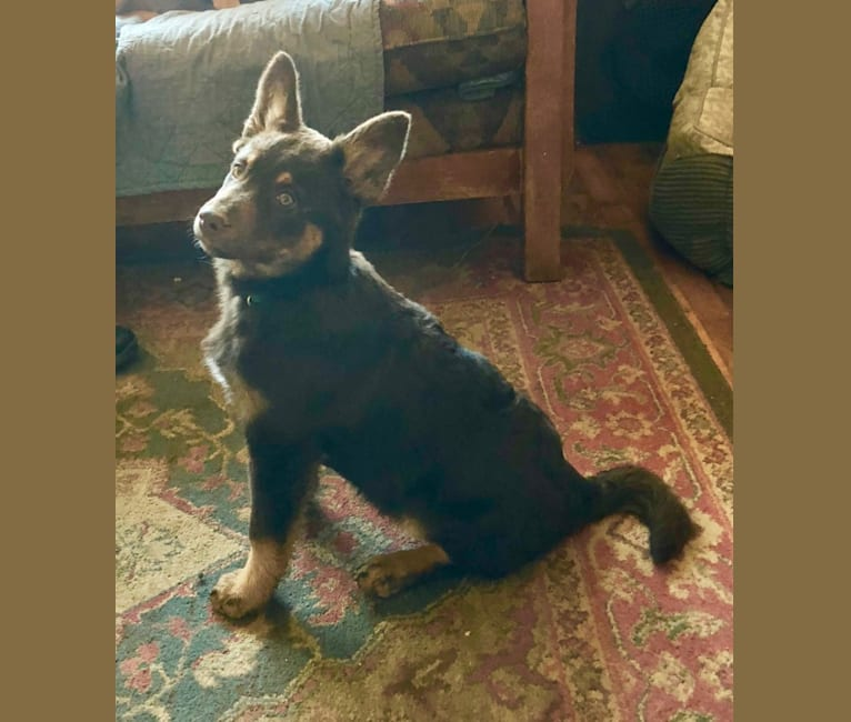 Photo of Scout, a Lapponian Herder  in Deer Park, Washington, USA