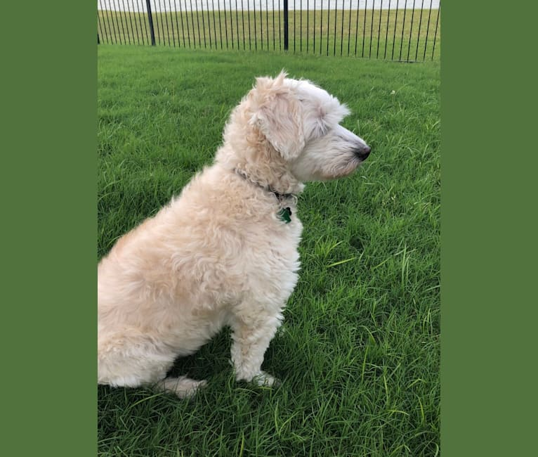 Photo of Moby, a Coton de Tulear, Poodle (Small), Bichon Frise, and Mixed mix in Plano, Texas, USA