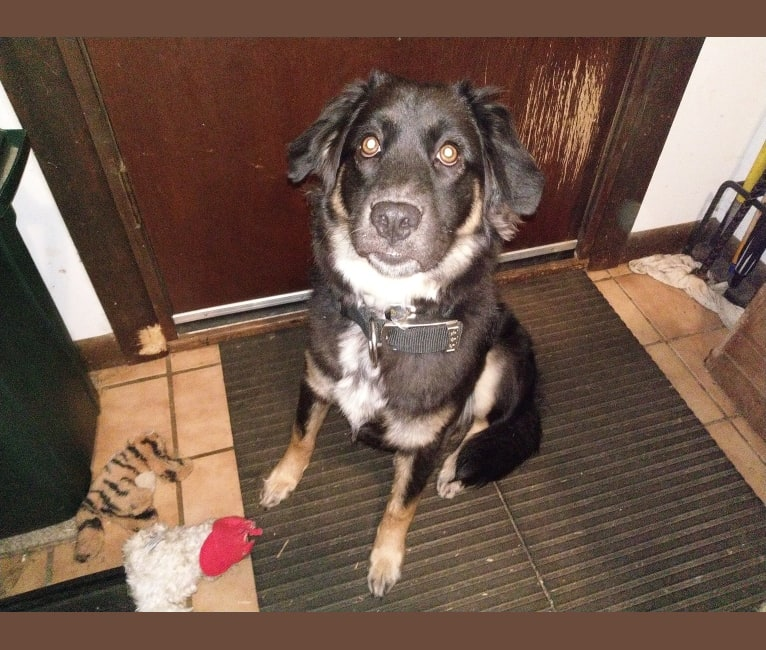 Photo of Kozy (the Magnificent), a Chow Chow, German Shepherd Dog, Bluetick Coonhound, and Mixed mix in Huntsville, Alabama, USA