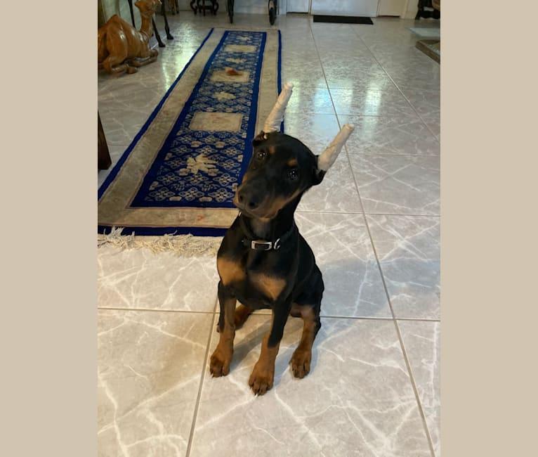 Photo of Raven, a Doberman Pinscher  in West Palm Beach, FL, USA