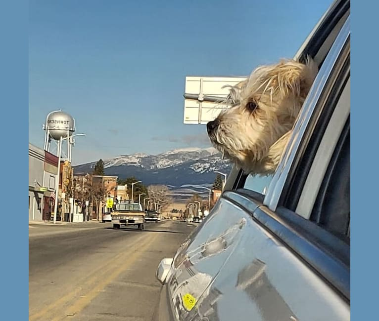 Photo of Oliver, a Miniature Schnauzer, Russell-type Terrier, and Pekingese mix in Missoula, Montana, USA
