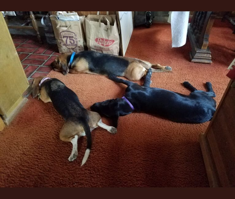 Photo of Bleu Bayou, a Basset Hound, Chihuahua, and Cocker Spaniel mix in Hesperia, California, USA