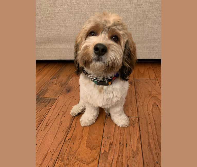 Photo of Max, a Havanese and Cavalier King Charles Spaniel mix in Fulton, Kansas, USA
