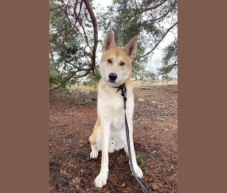 Photo of Jesper, an Akita Inu, Alaskan Malamute, German Shepherd Dog, and Mixed mix