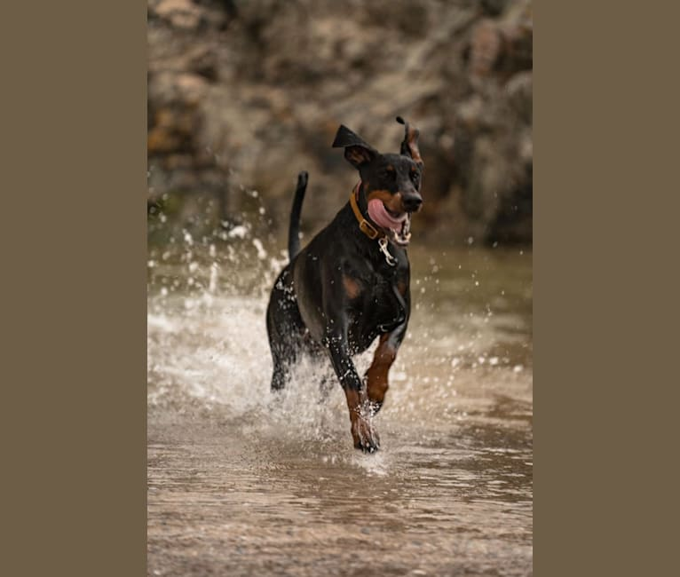 Photo of Toby, a Doberman Pinscher  in null
