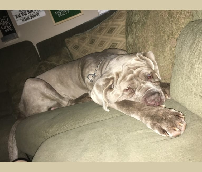 Photo of Apollo, a Neapolitan Mastiff  in Florence, South Carolina, USA