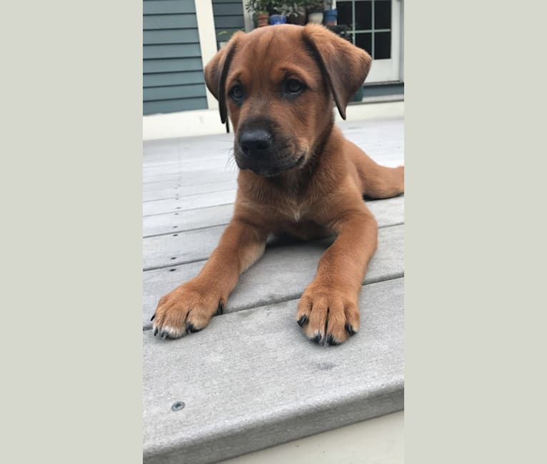 Photo of Beau, a Labrador Retriever, German Shepherd Dog, American Pit Bull Terrier, and Mixed mix in Skowhegan, Maine, USA