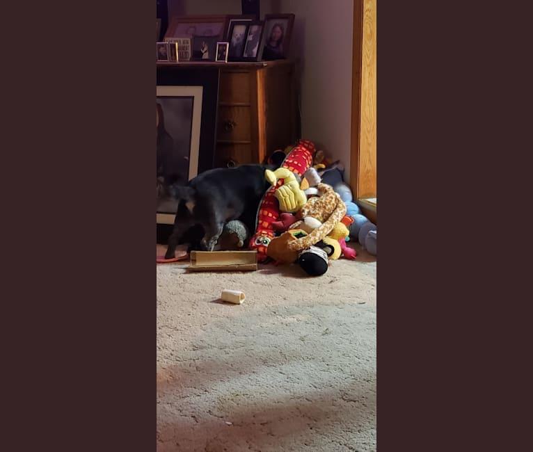 Photo of Ajax, a Pug, Cocker Spaniel, Bichon Frise, and Golden Retriever mix in Eau Claire, Wisconsin, USA