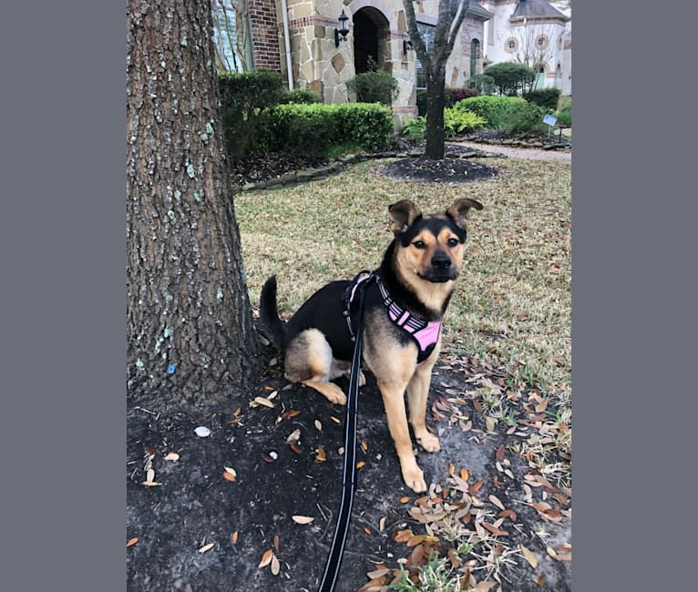 Photo of Zion, a Chow Chow, Rottweiler, Australian Cattle Dog, and Mixed mix in Katy, Texas, USA
