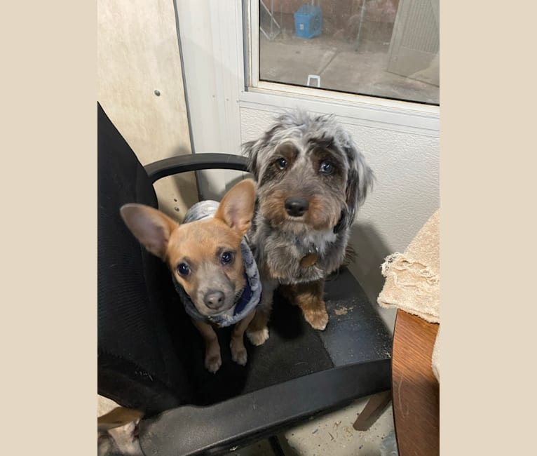 Photo of Kirby, a Chihuahua and Poodle (Small) mix in Millbrae, California, USA