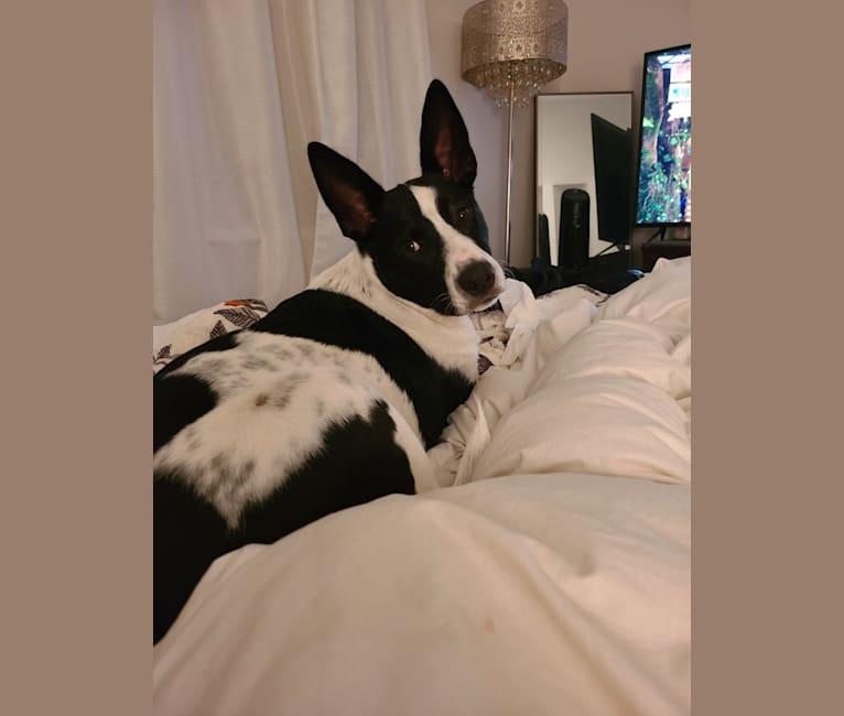 Photo of Maverick, a Siberian Husky, Australian Cattle Dog, American Pit Bull Terrier, and Australian Shepherd mix