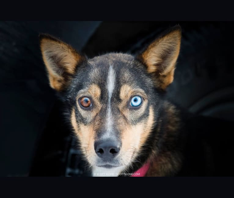 Photo of Sarah Jane, an Alaskan-type Husky