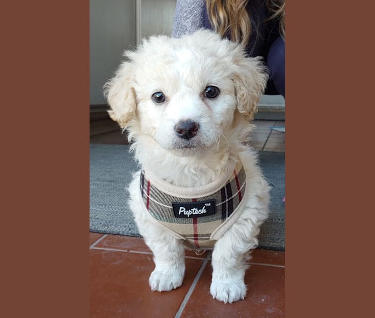 Photo of Teddy Bear, a Poodle (Small), Pekingese, and Mixed mix in San Diego, CA, USA