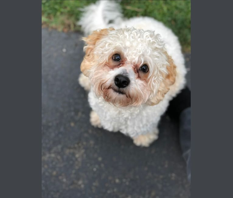 Photo of Charlie, a Poodle (Small) and Shih Tzu mix in Iowa, USA