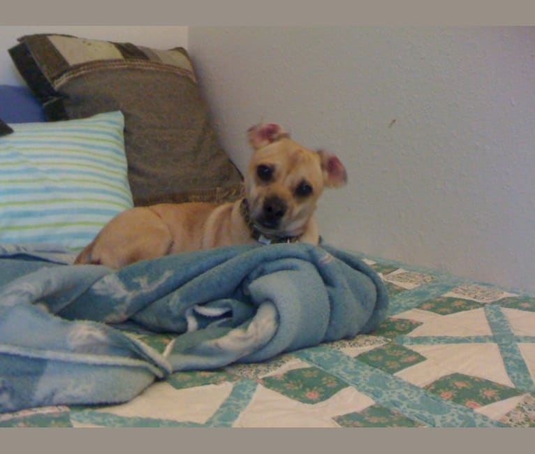 Photo of Lewis, a Pug and Rat Terrier mix in Elgin, Texas, USA