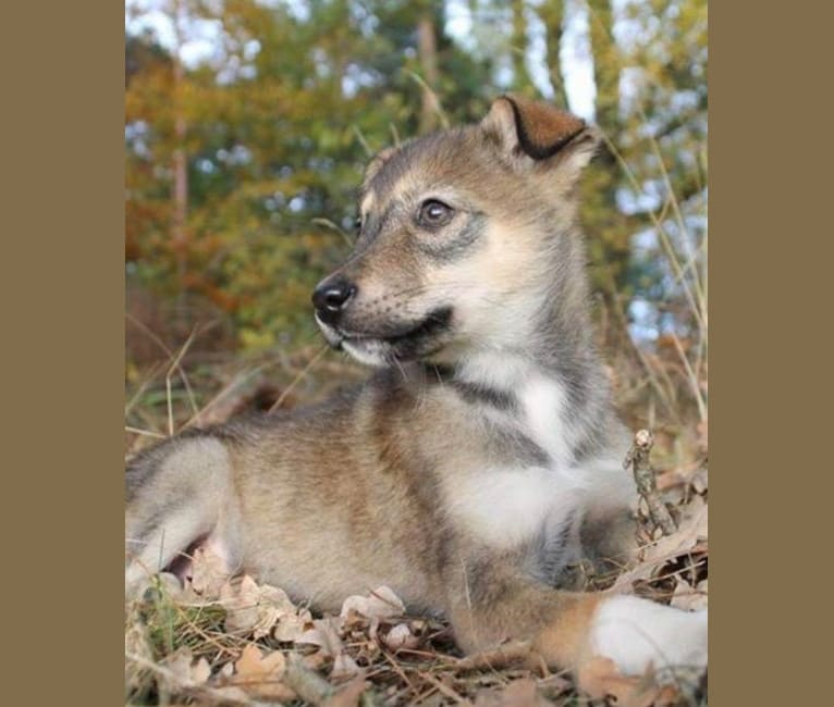 Photo of Ivy, an Alaskan-type Husky and Siberian Husky mix in Waalre, Noord-Brabant, Nederland