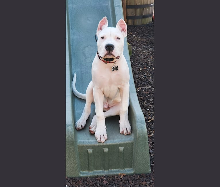 Photo of Dario, a Dogo Argentino  in 1647 253rd Ave NE, Isanti, MN, USA