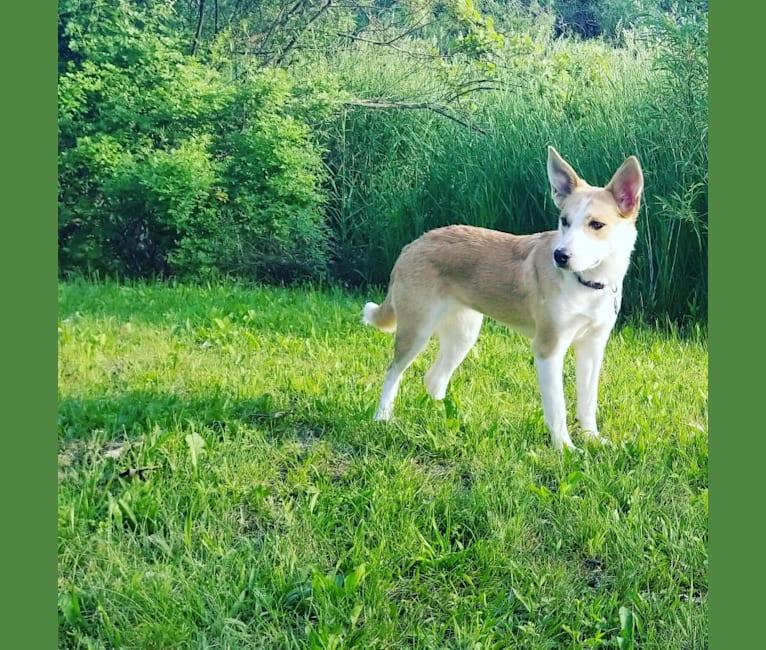Photo of Eowyn, an Australian Shepherd, Australian Cattle Dog, Mountain Cur, German Shepherd Dog, and Mixed mix in Kentucky, USA
